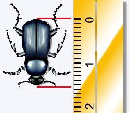 medindo um besouro com valor aproximado ao valor exato